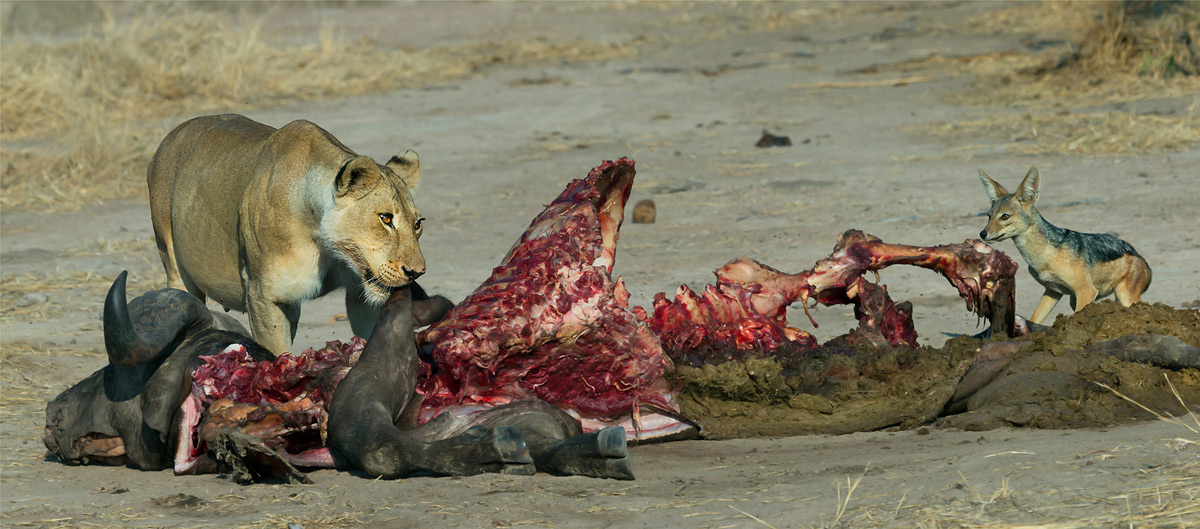 A weary jackal makes a quick dash towards the lion's buffalo kill to steal scraps of meat in Ruaha National Park, Tanzania © Hesté de Beer