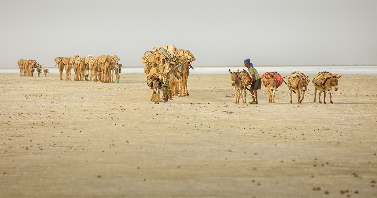 Salt caravans leave for Marakele in the late afternoon in the Danakil Depression, Ethiopia © Hesté de Beer