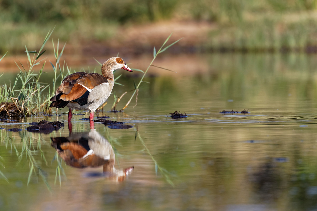 An Egyptian goose in Kruger National Park, South Africa © Jo Fankhauser