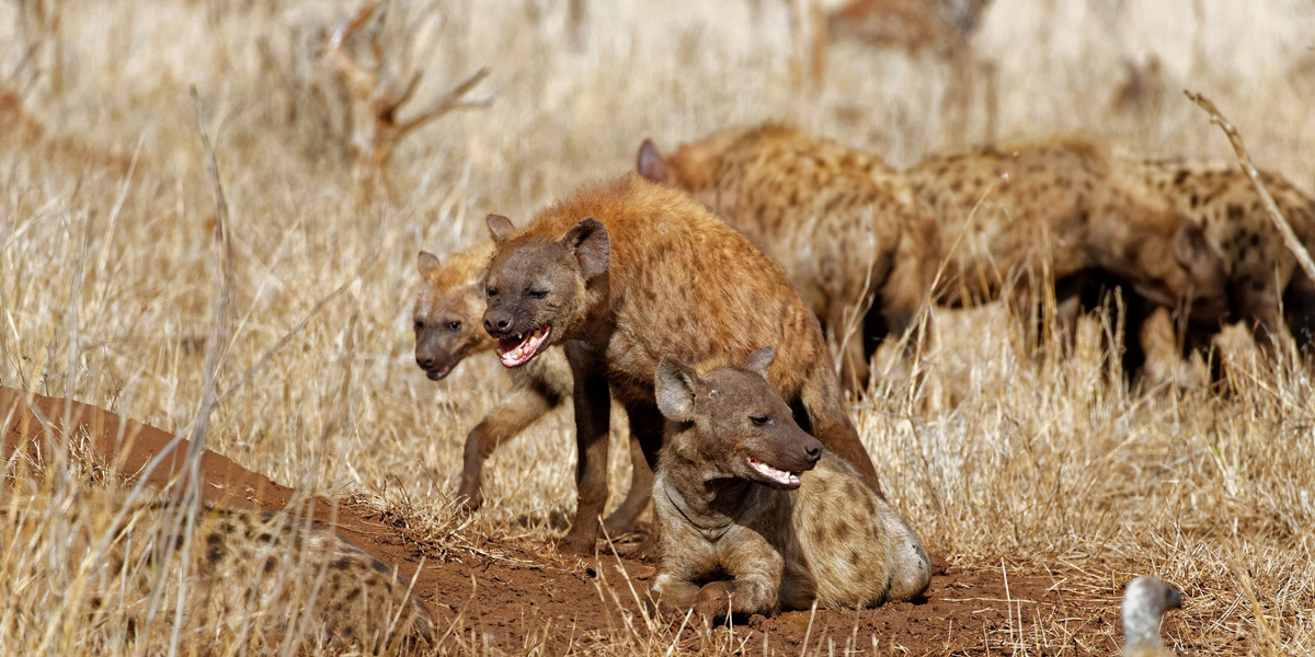"""""""These hyenas must have been pretty low in the ranking order, as all that they could do was grimace while the matriarch and her favoured relatives had first dibs at the wildebeest carcass they had stolen from two lionesses"""" – Kruger National Park, South Africa © Jo Fankhauser"""
