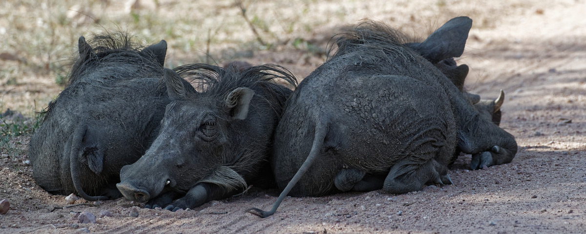 """Heads or tails"" – warthogs rest in the shade in Kruger National Park, South Africa © Jo Fankhauser"