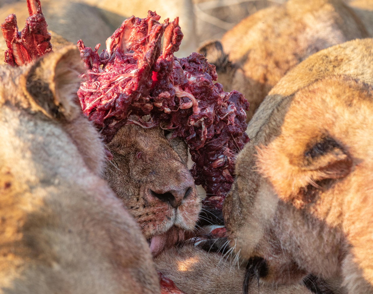 The Torchwood Pride make short work of a nyala bull in Sabi Sands Private Game Reserve, South Africa © Karen Blackwood