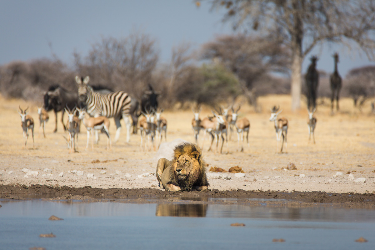 A lion takes his time at a waterhole while the rest watch on in Nxai Pan National Park, Botswana © Katrin Gerchel
