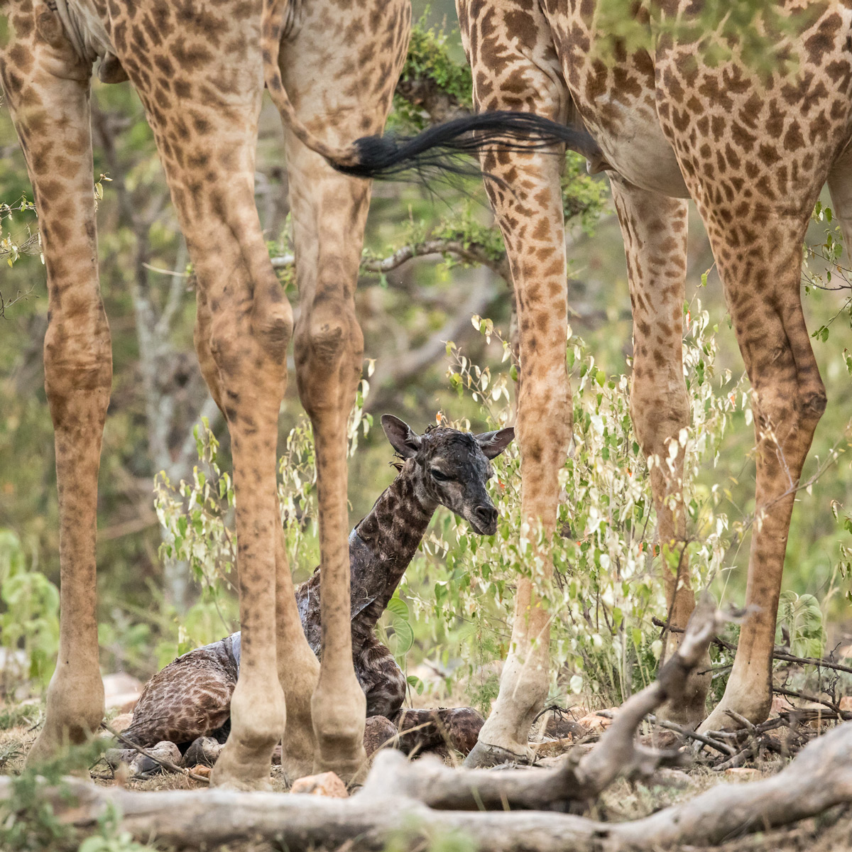 A vulnerable newborn giraffe sits under the protection of its mother and a male that had kept a nearby watch during the birth before moving over to greet the new family member, Maasai Mara National Reserve, Kenya © Kellie Netherwood