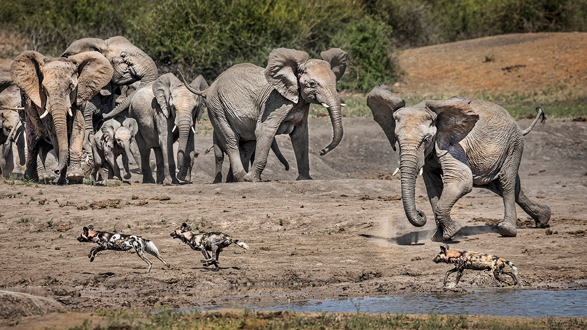 Elephants chase painted wolves (African wild dogs) in Madikwe Game Reserve, South Africa © Kevin Dooley