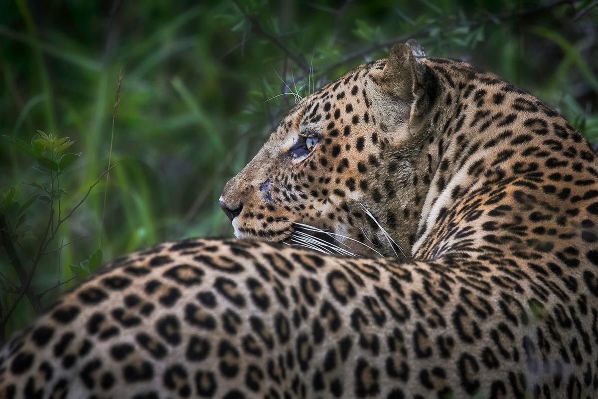 A leopard in Mashatu, Botswana © Kevin Dooley