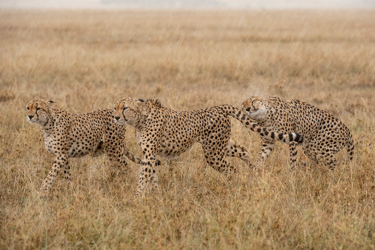 Three of the Fast Five, locally known as Taro Bono, getting ready to hunt zebra in pouring rain in Maasai Mara National Reserve, Kenya © Krishnan Gopala Krishnan
