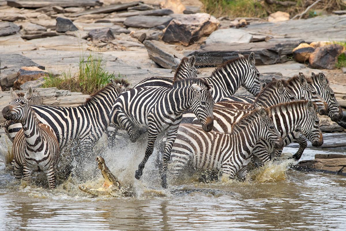 A crocodile tries in vain to take down a zebra in Maasai Mara National Reserve, Kenya © Krishnan Gopala Krishnan