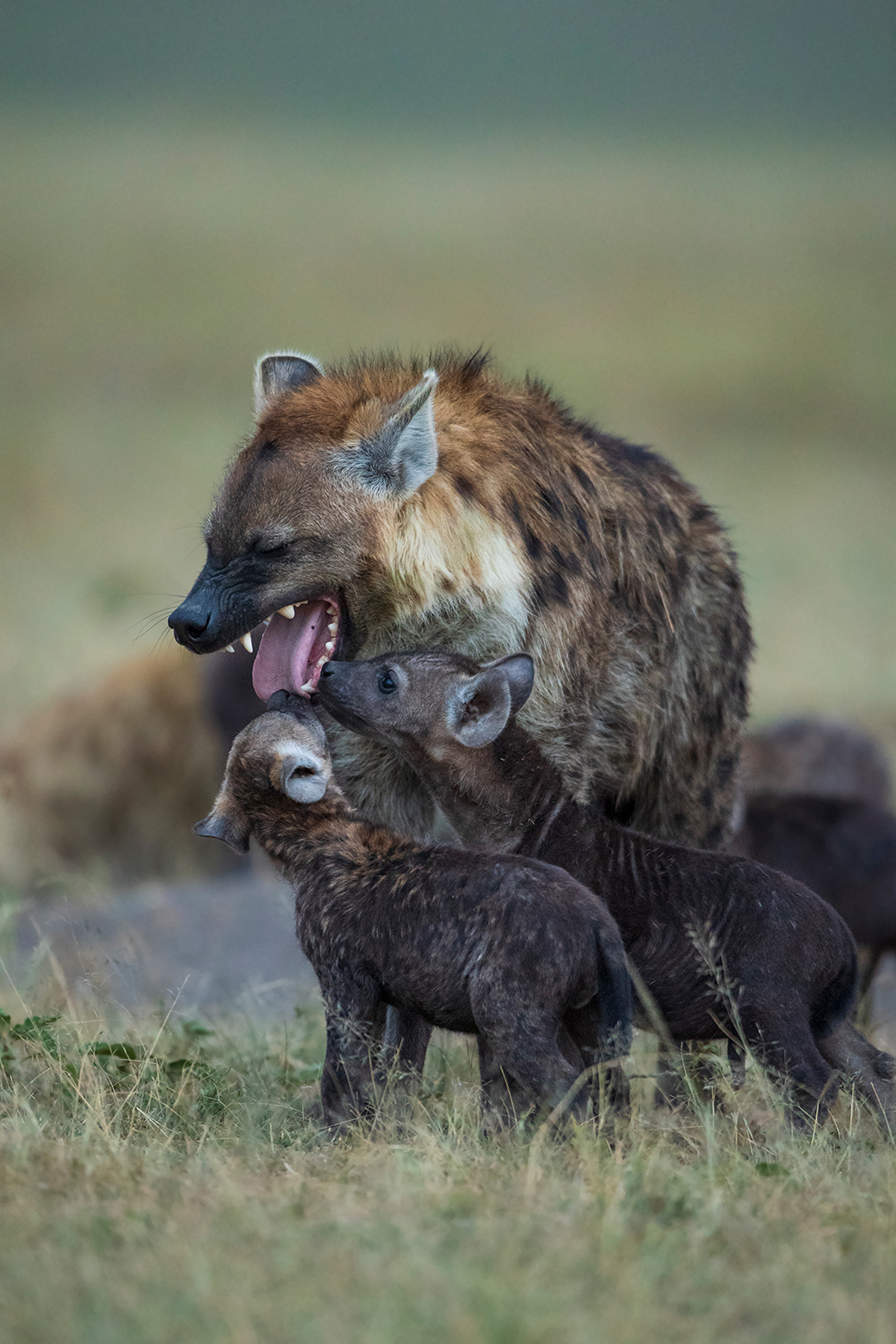 Hyena pups and their customary inspection of the mouths of the adults who return to the den in the evening, Maasai Mara National Reserve, Kenya © Krishnan Gopala Krishnan