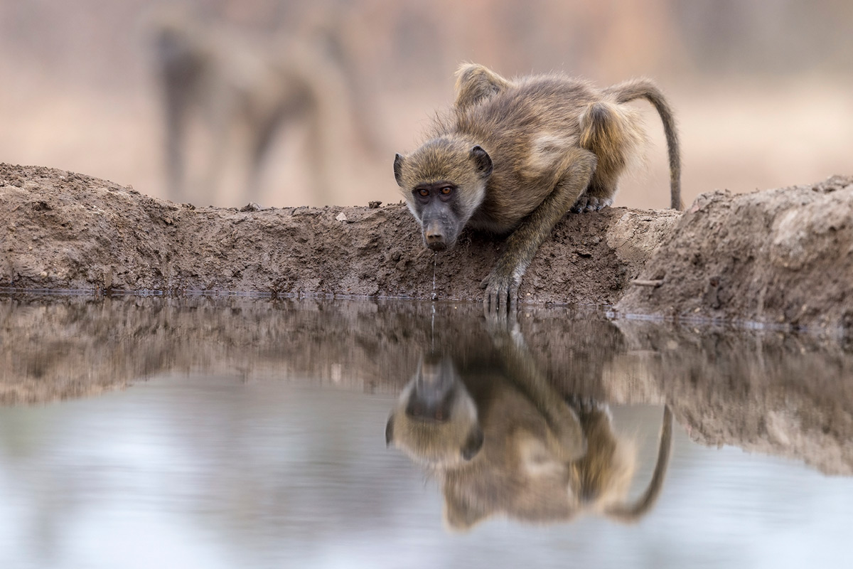 A young chacma baboon drinks in Mashatu Game Reserve, Botswana © Lennart Hessel