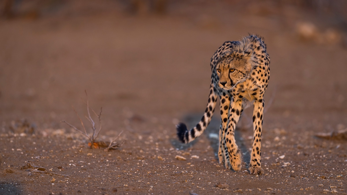 A young cheetah eyes the guineafowl nearby in Mashatu Game Reserve, Botswana © Lennart Hessel