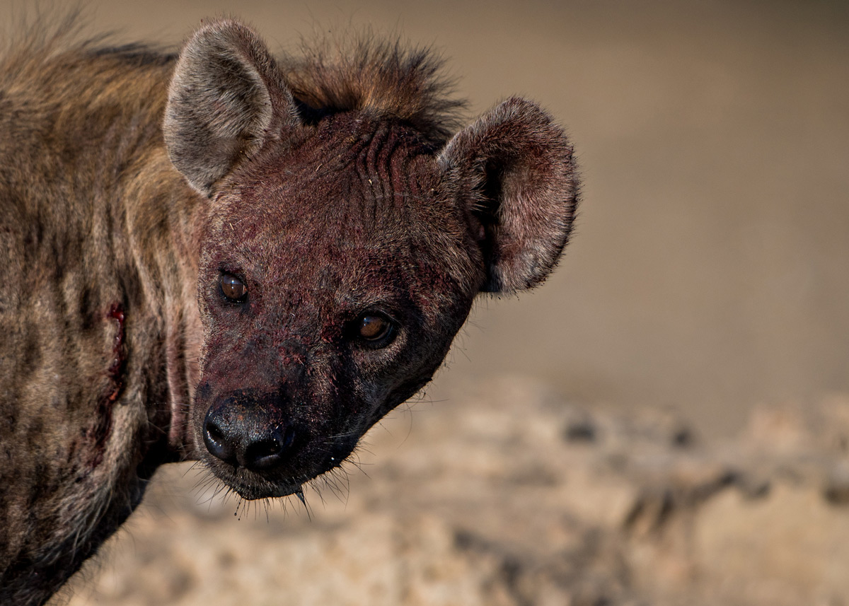 A spotted hyena cools down by a waterhole after a fight in Kgalagadi Transfrontier Park, South Africa © Margie Botha