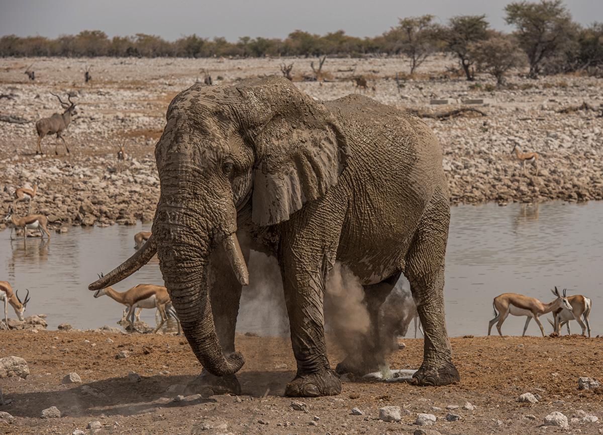 An elephant takes a dust bath by a waterhole in Etosha National Park, Namibia © Melanie Maske
