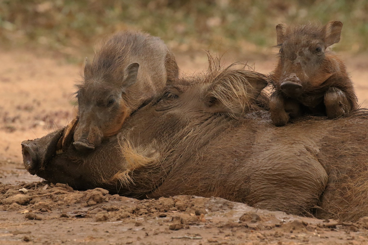 Warthog piglets give their mother some love in Murchison Falls National Park, Uganda © Michele Addison