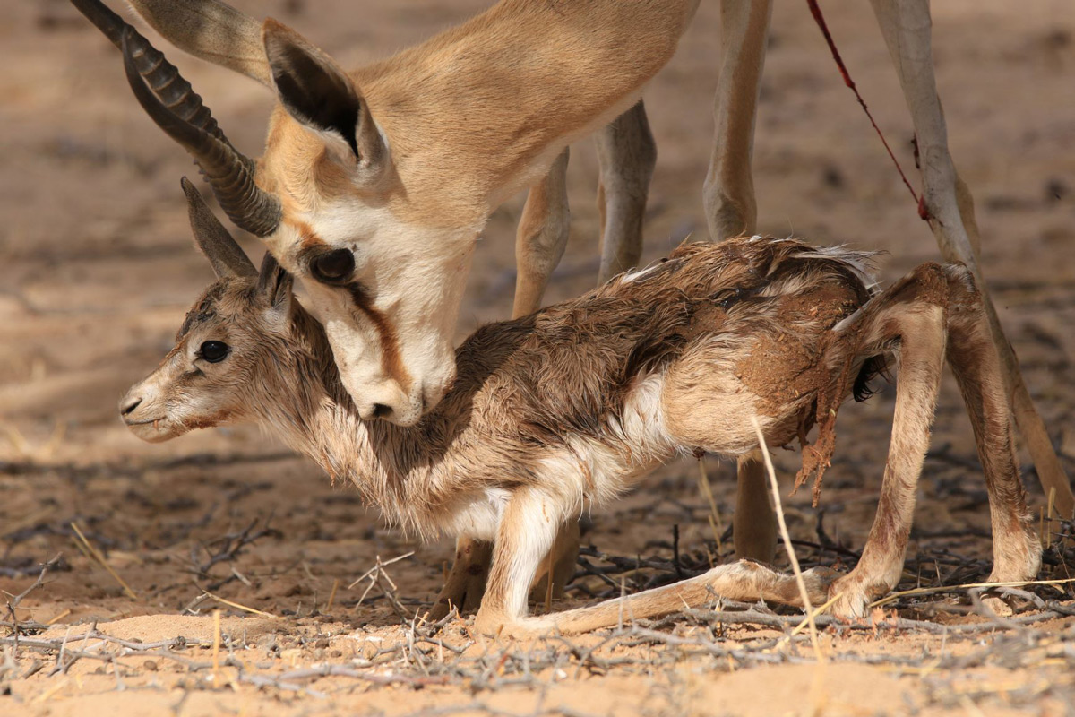A mother springbok nuzzles her newborn in Kgalagadi Transfrontier Park, South Africa © Mike Cawood