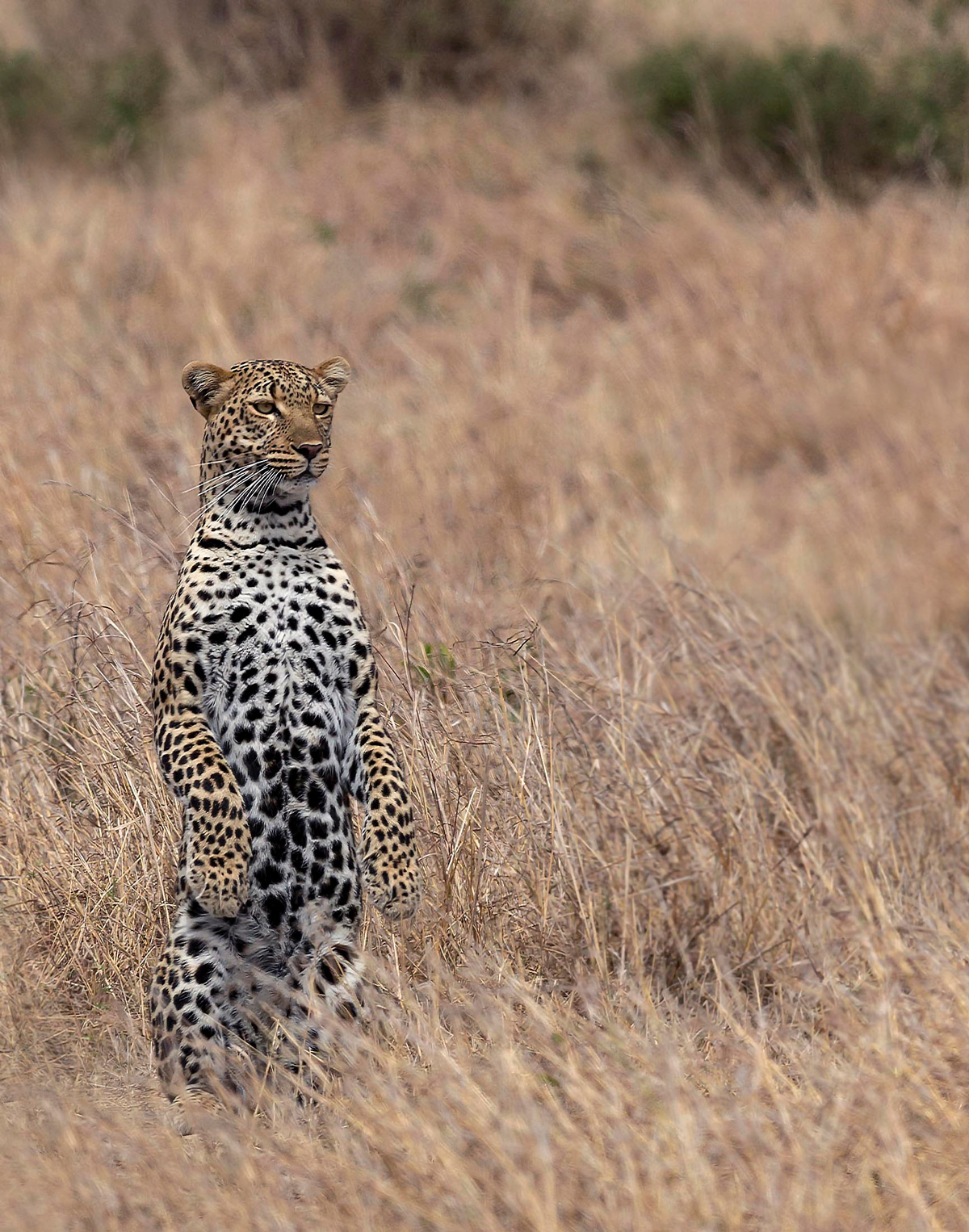 A young male leopard stands up to survey the vast grassland in Maasai Mara National Reserve, Kenya © Nitin Michael