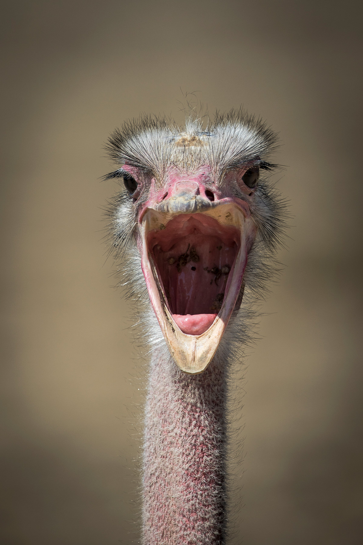 """The revolt of the ostrich"" – Maasai Mara National Reserve, Kenya © Patrice Quillard"