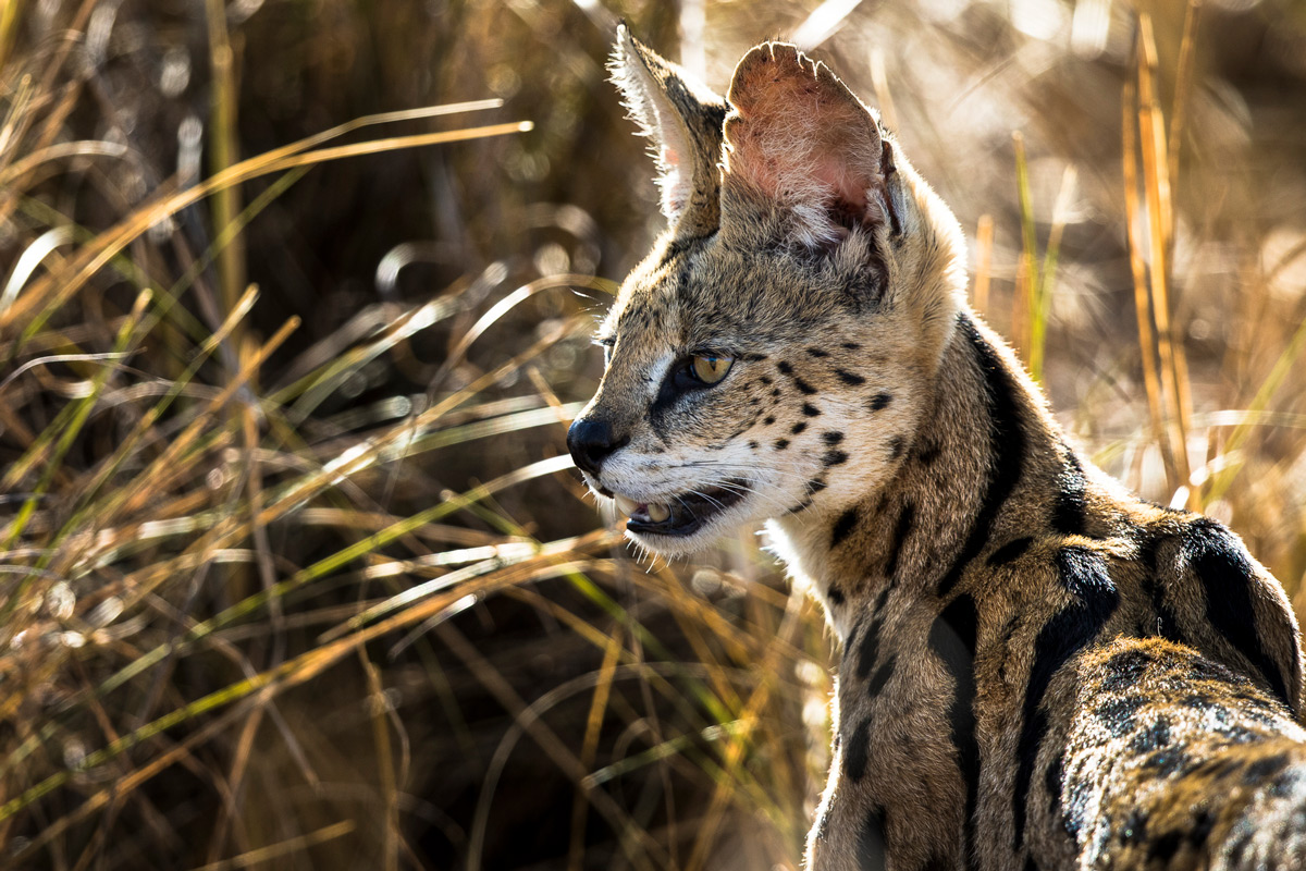 A serval keeps an eye out for potential prey in Maasai Mara National Reserve, Kenya © Patrice Quillard