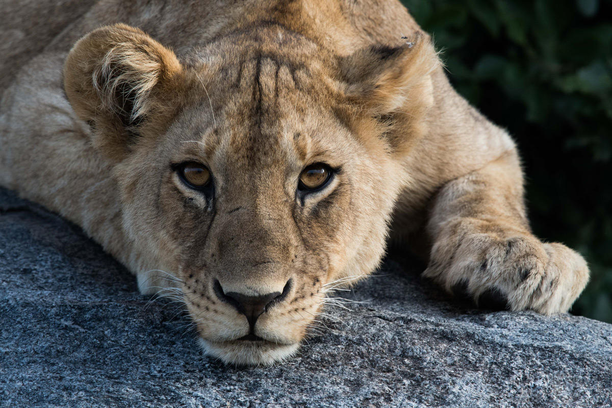 A lion cub rests on a kopje in Serengeti National Park, Tanzania © Paul Wild
