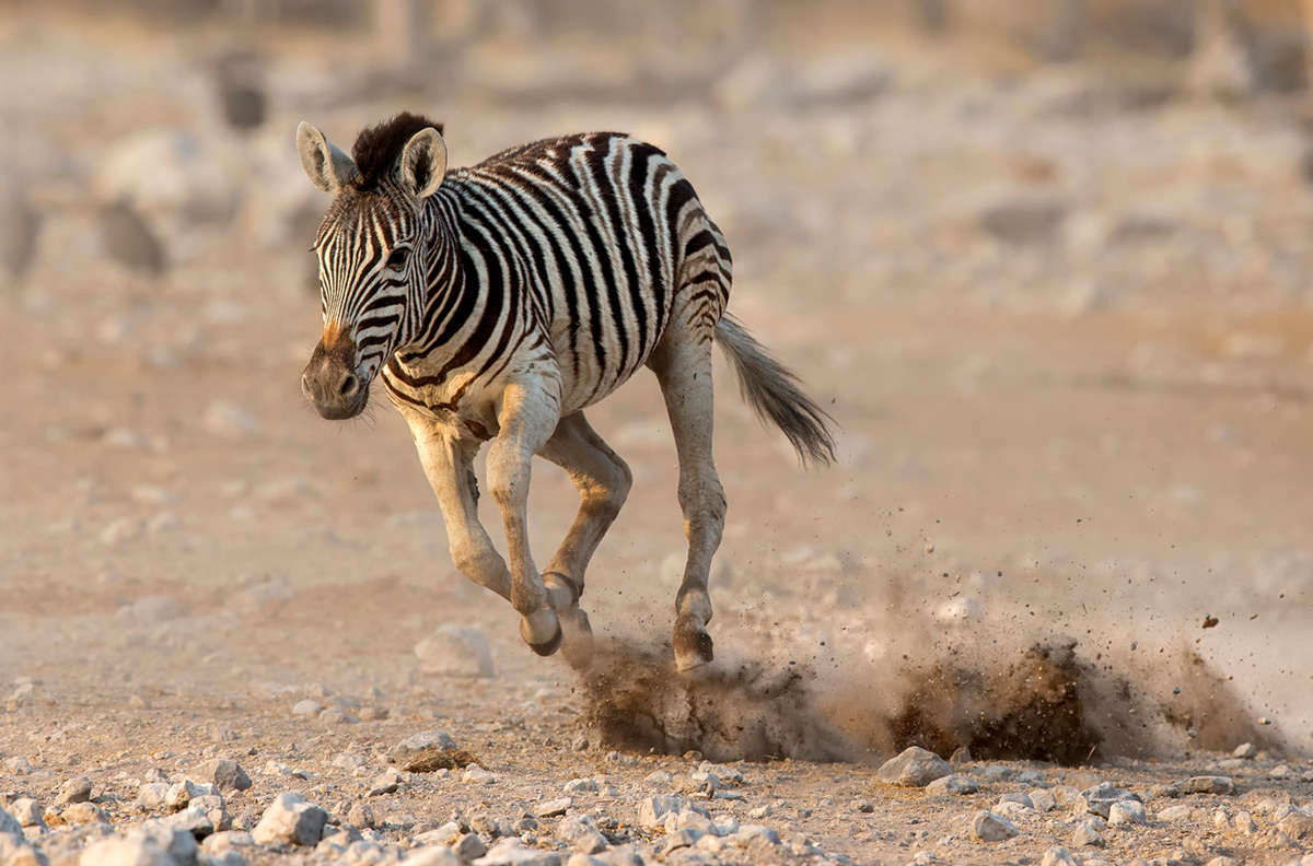 A young zebra tries to keep up with the rest of the herd in Etosha National Park, Namibia © Prelena Soma Owen