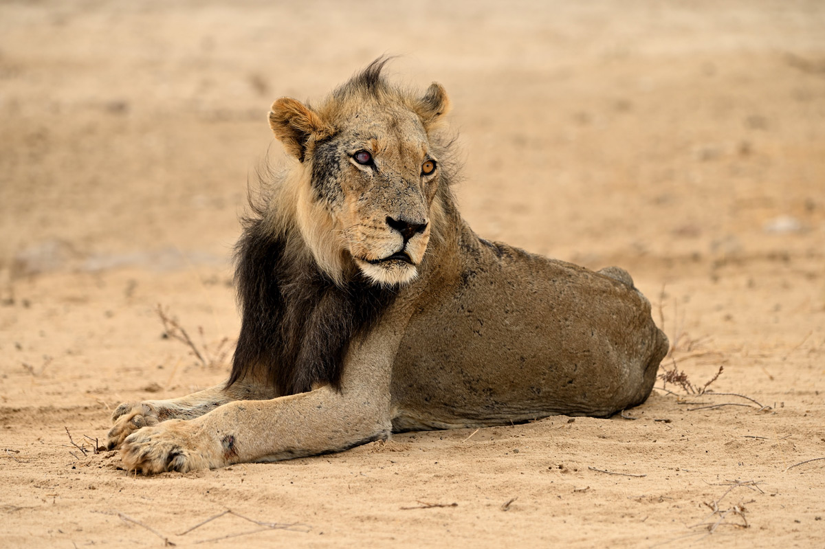 An old lion seen in Kgalagadi Transfrontier Park, South Africa © Rob Keulemans