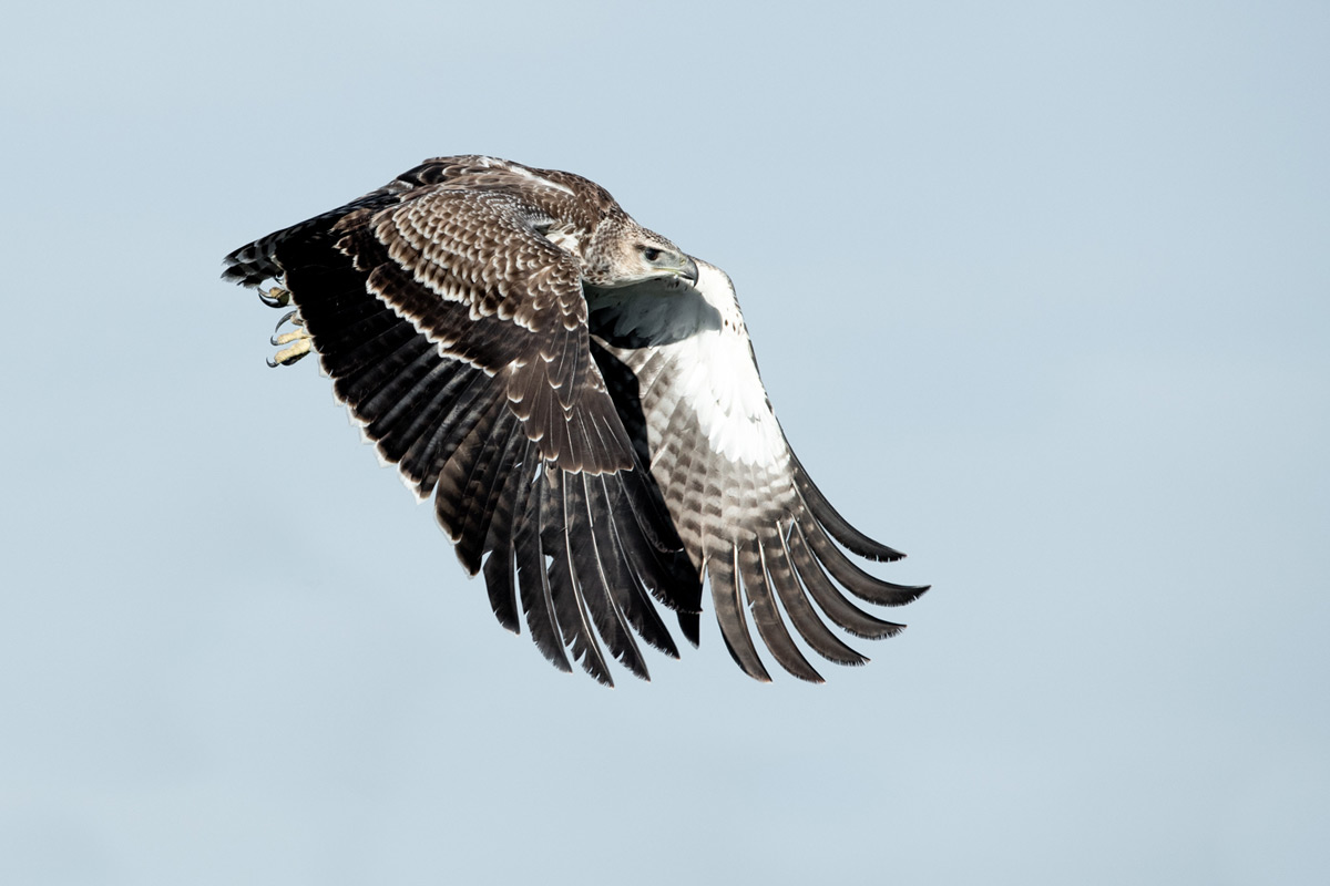 A martial eagle takes flight with determination in Grumeti Game Reserve, Tanzania © Ross Couper