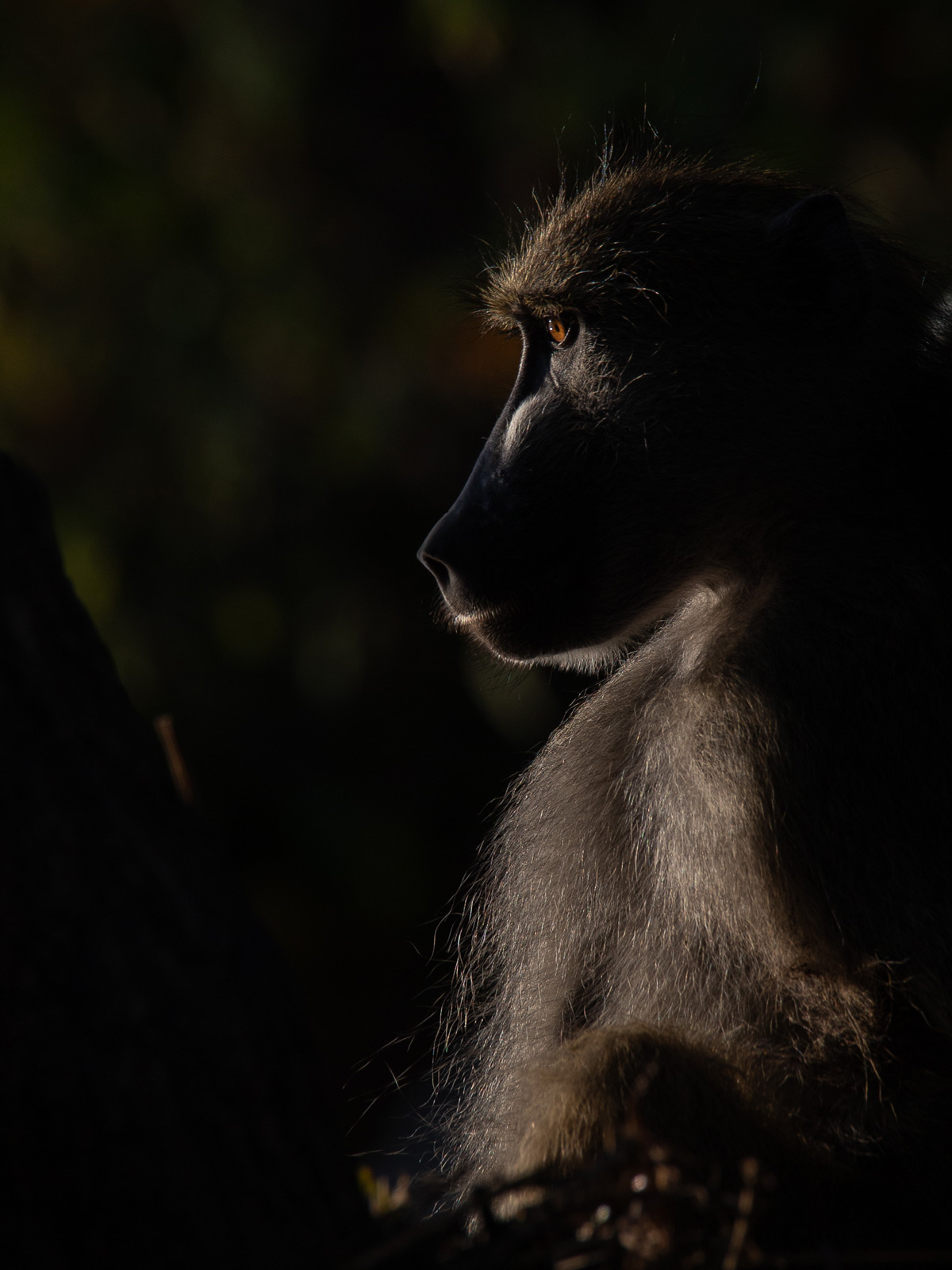A baboon sits in deep thought as the sun rises on the banks of the Chobe River, Namibia © Simon Cox