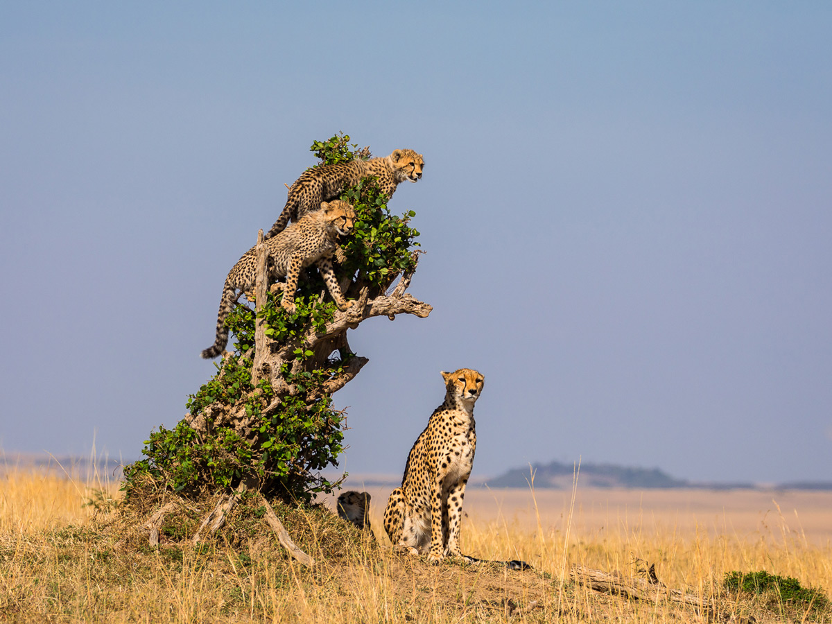 A cheetah with her cubs on the lookout in Maasai Mara National Reserve, Kenya © Sven E. Fredriksen