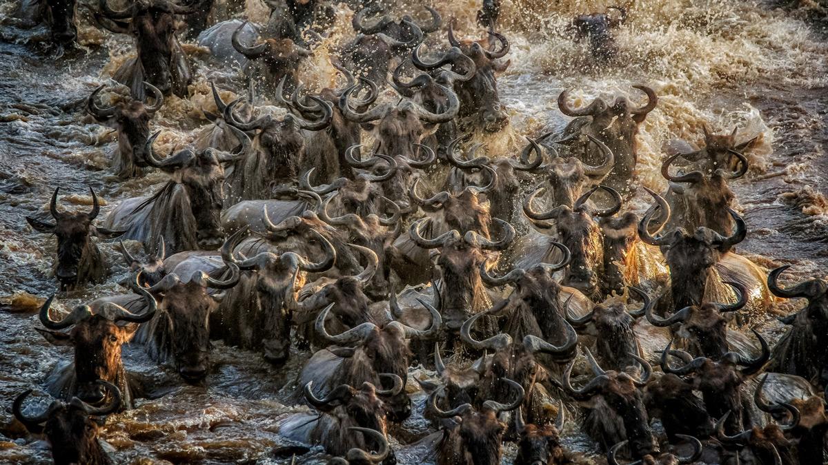 A river of wildebeests in Maasai Mara National Reserve, Kenya © Tania Cholwich