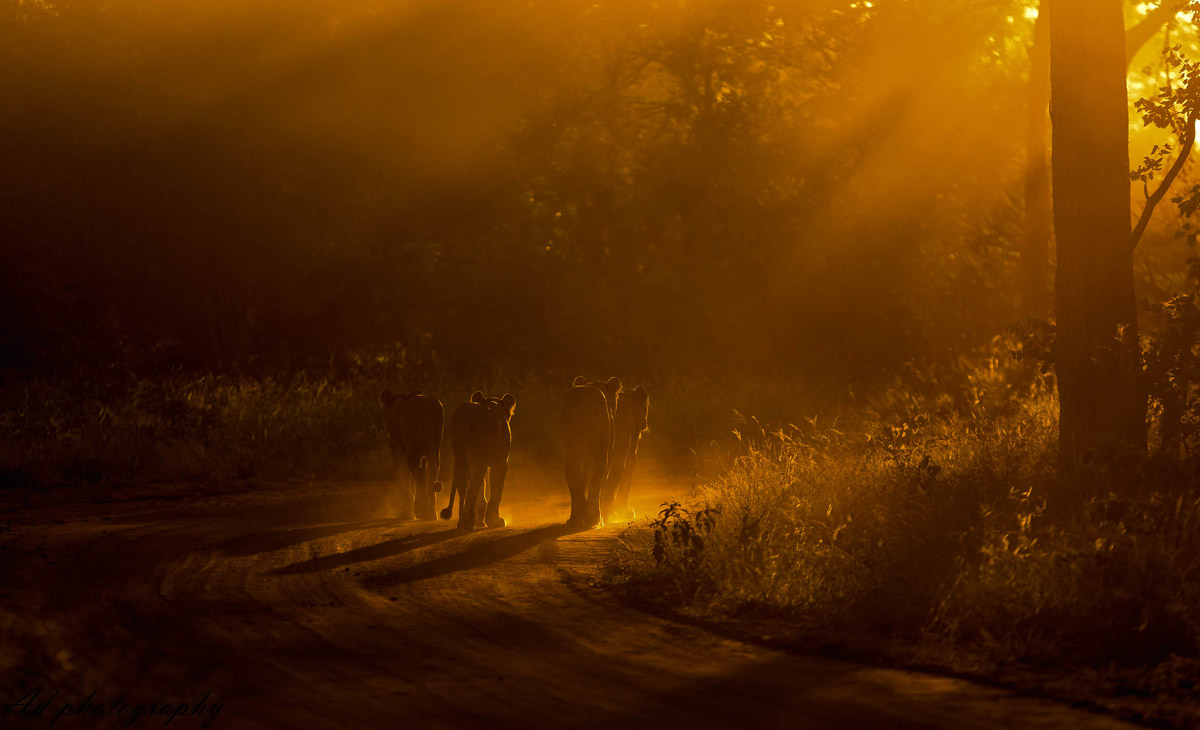 A mother lion and her three cubs walk into the sunset in Maseke Balule Game Reserve, South Africa © Adrian van Zyl