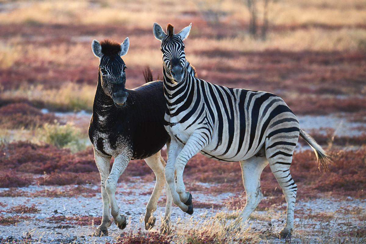 An abundistic (or pseudo-melanistic) zebra in Etosha National Park, Namibia © Andrea Marzorati