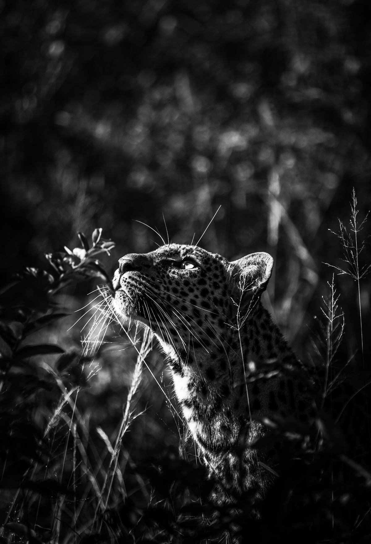 A young leopardess spotted in Kapama Private Game Reserve, South Africa © Andrew Taylor