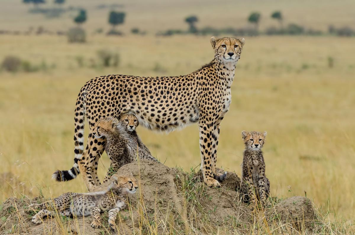 A cheetah mother and her cubs in Maasai Mara National Reserve, Kenya © Ankit Desai