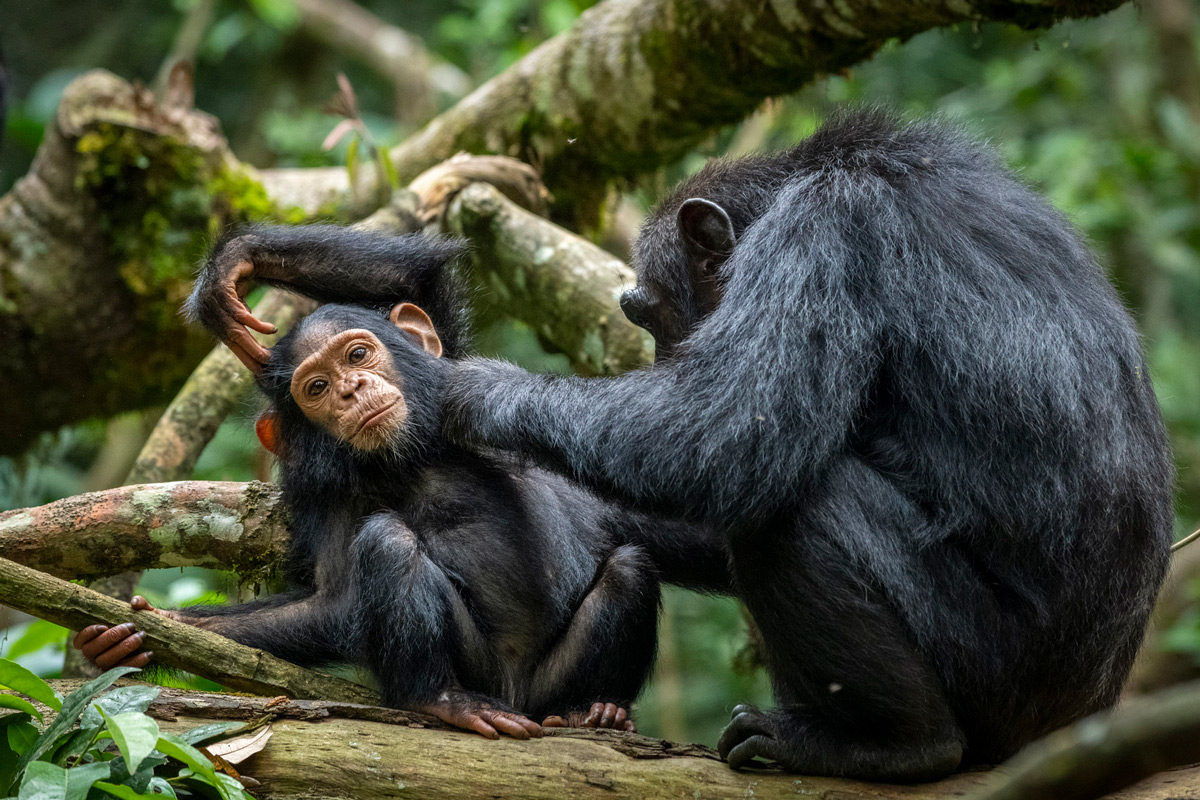 A chimpanzee grooms a youngster in Kibale National Park, Uganda © Artur Stankiewicz