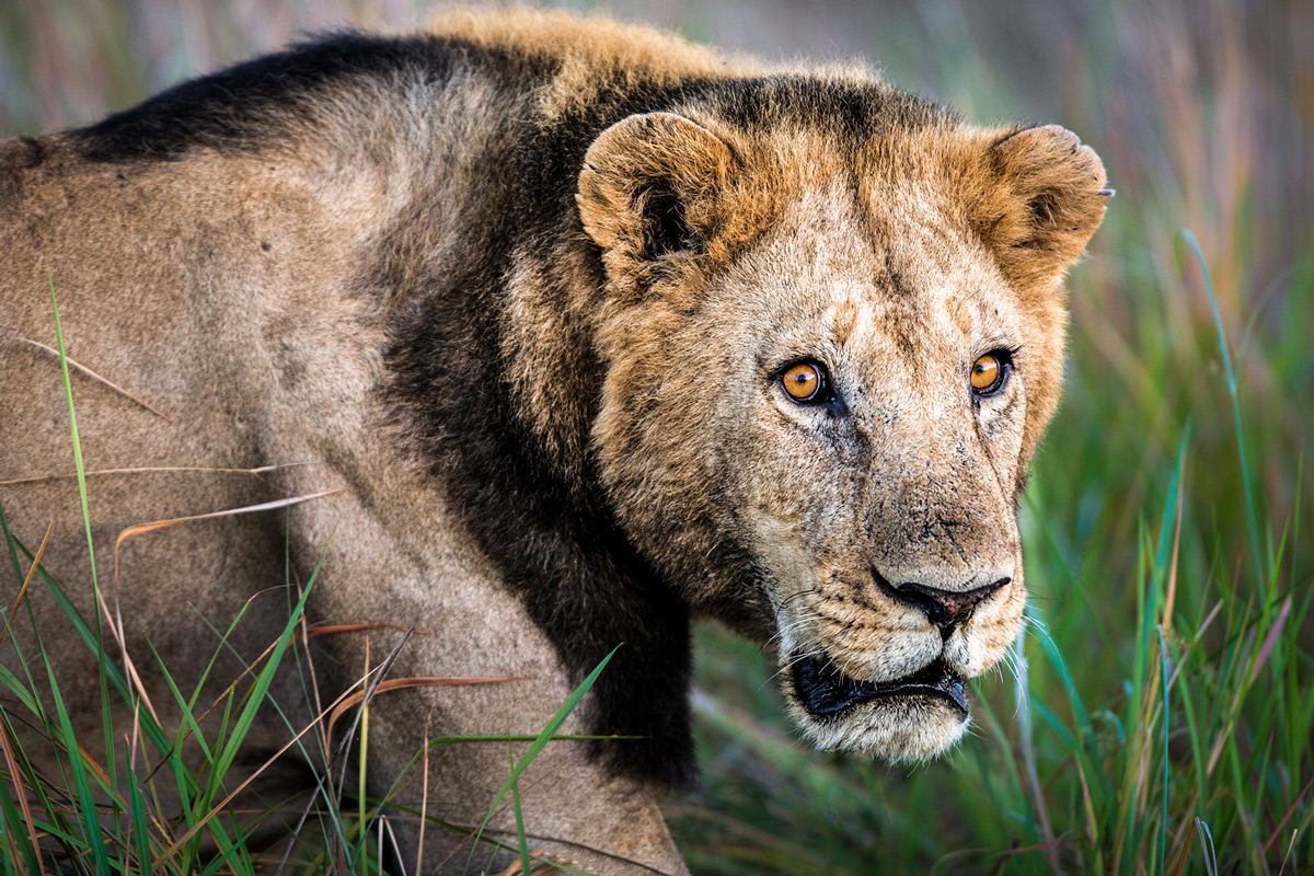 A lion with a short mane slinks around the territory of another male in Botswana © Beth Stewart