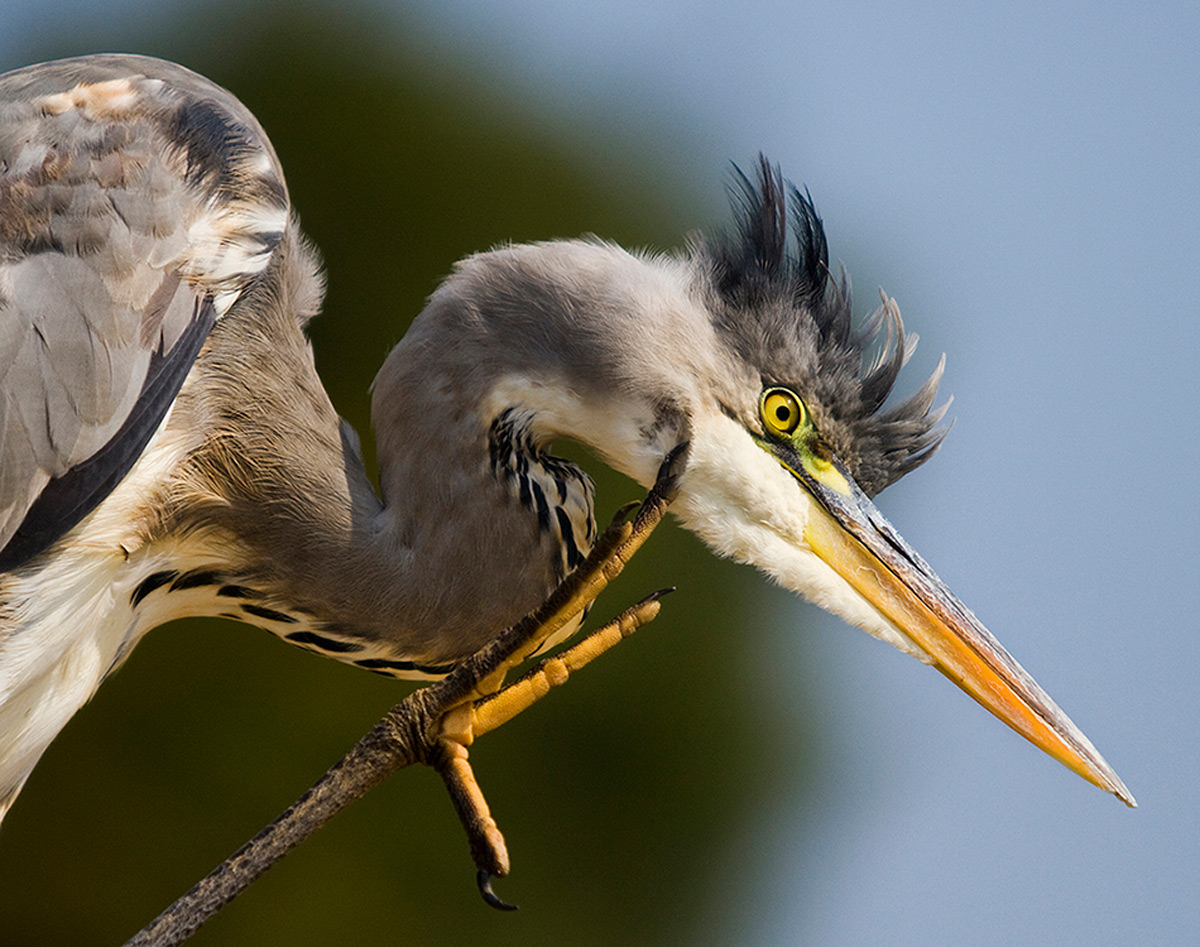 A grey heron with an itch in Kruger National Park, South Africa © Carol Barry