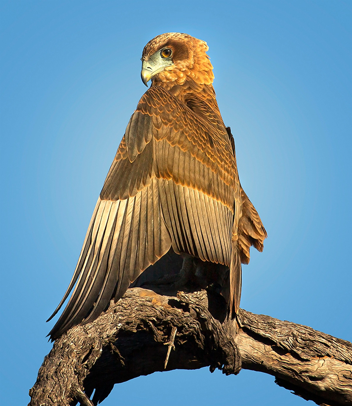 A juvenile bateleur in the early morning light, Kruger National Park, South Africa © Carol Barry