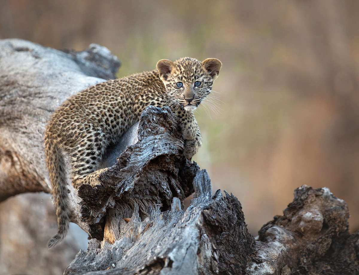 An adorable blue-eyed leopard cub in Sabi Sands Private Game Reserve, South Africa © Carol Barry