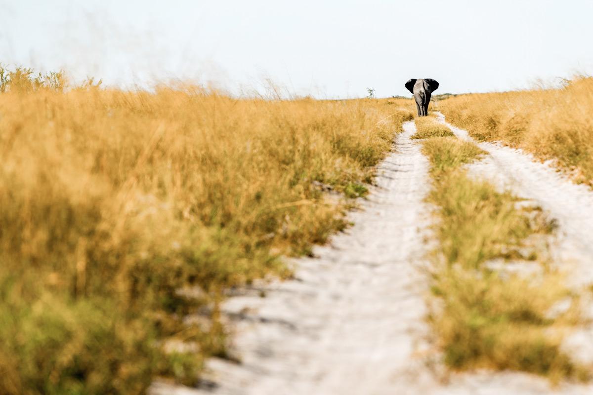 An elephant walks down a dirt road in Makgadikgadi Pans National Park, Botswana © Charlie Lynam