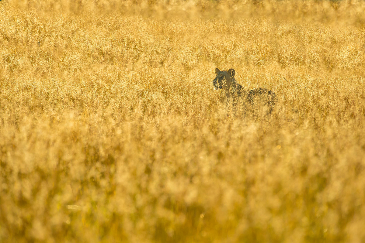 A lioness peers through the golden grass in the early morning in Okavango Delta, Botswana © Charlie Lynam