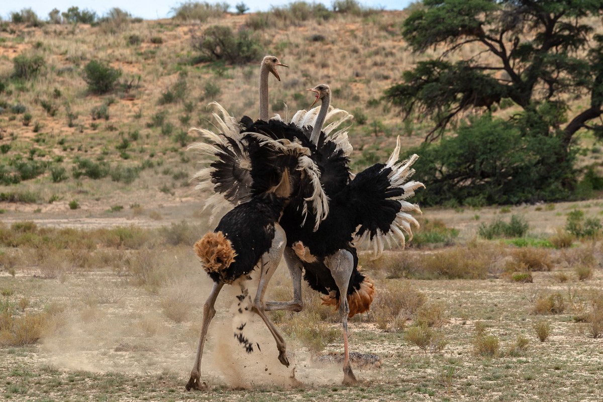 Two male ostriches get into a fight in Kgalagadi Transfrontier Park, South Africa © Charlie Lynam