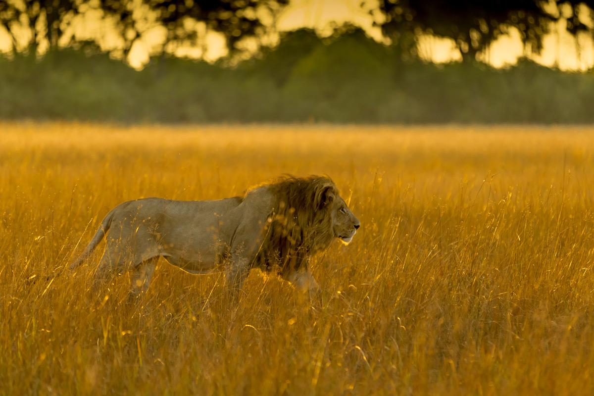 A lion walks through golden grass in Okavango Delta, Botswana © Charlie Lynam