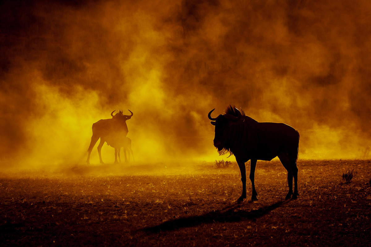Wildebeests and dust at sunset in Kgalagadi Transfrontier Park, South Africa © Charlie Lynam