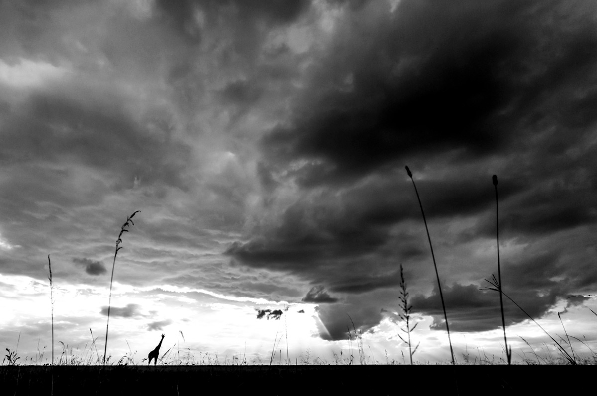 A lone giraffe walks across the plains at the start of a storm in Maasai Mara National Reserve, Kenya © Charlotte Rhodes