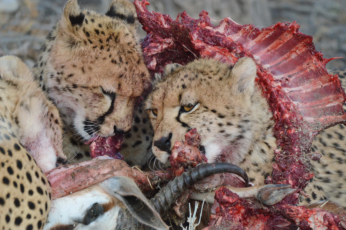 Cheetahs feed on a springbok in Kgalagadi Transfrontier Park, South Africa © Charmane Baleiza