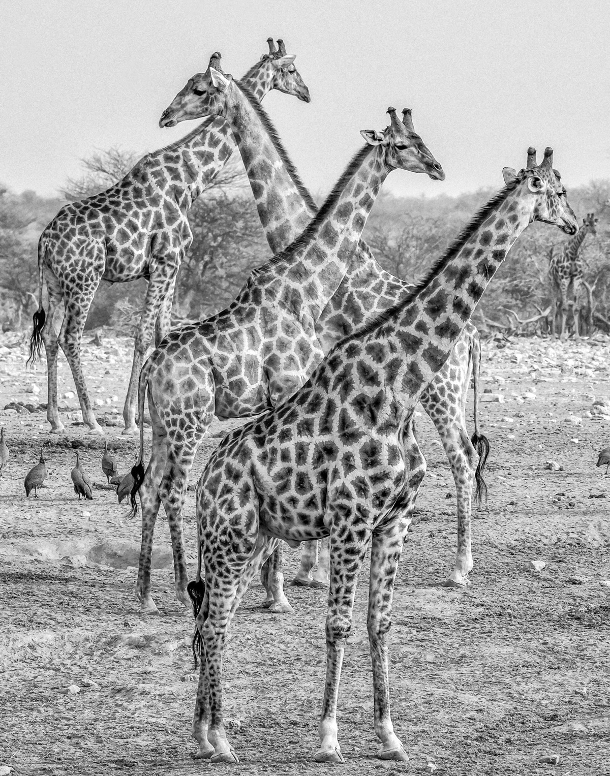 Giraffes gather near a waterhole in Etosha National Park, Namibia © Cindee Beechwood