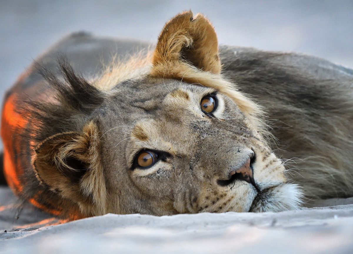 A young lion rests in Mabuasehube Game Reserve, Botswana © Dave Pusey