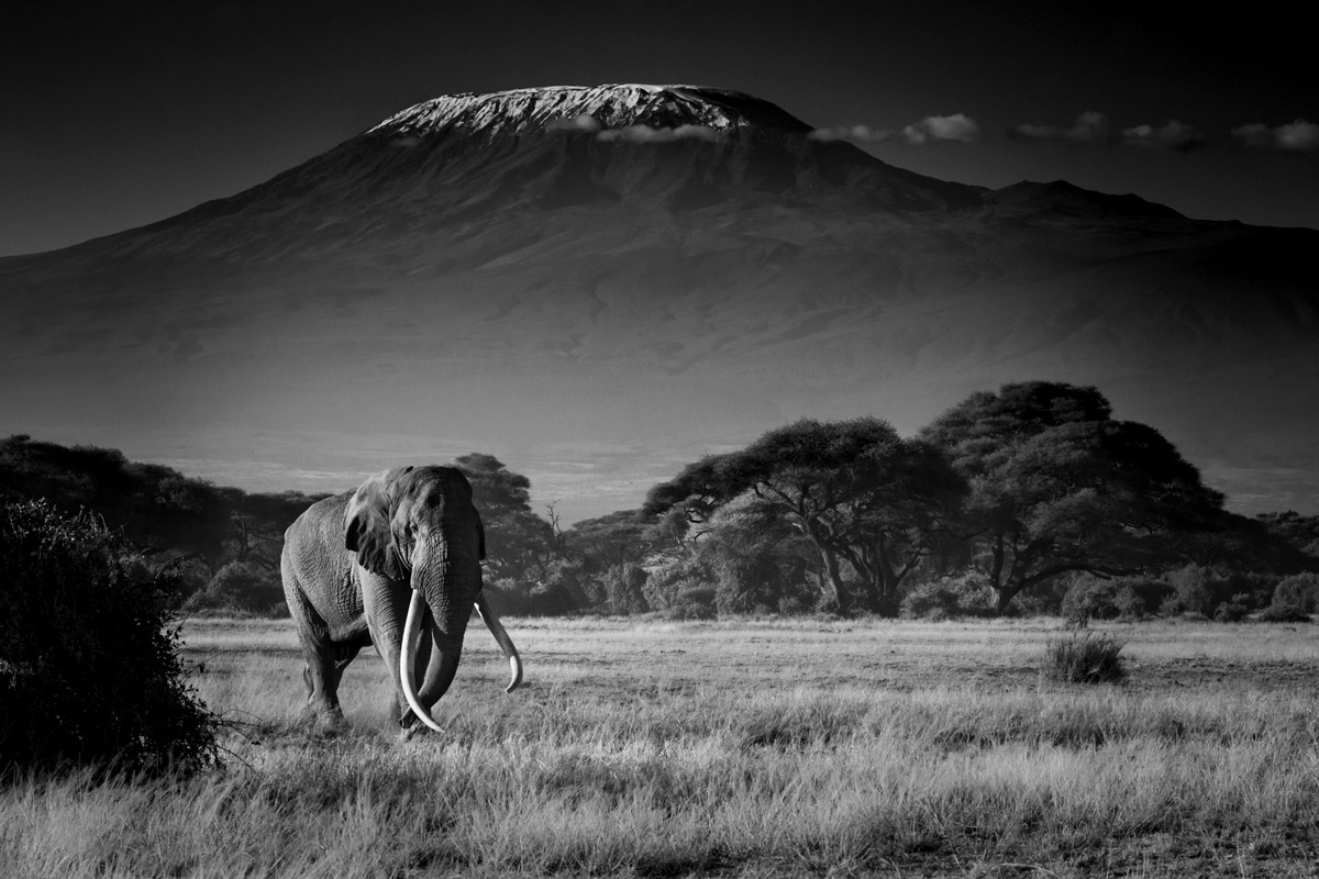 Tim, the iconic tusker, makes his way to the marshlands in Amboseli National Park, Kenya © Dean Bricknell