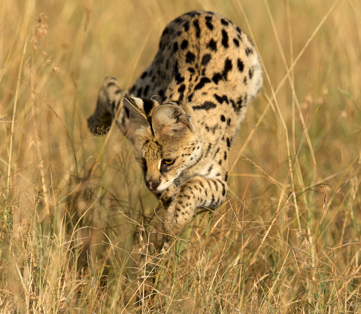 A serval pounces on its prey in Maasai Mara National Reserve, Kenya © Derek Howes