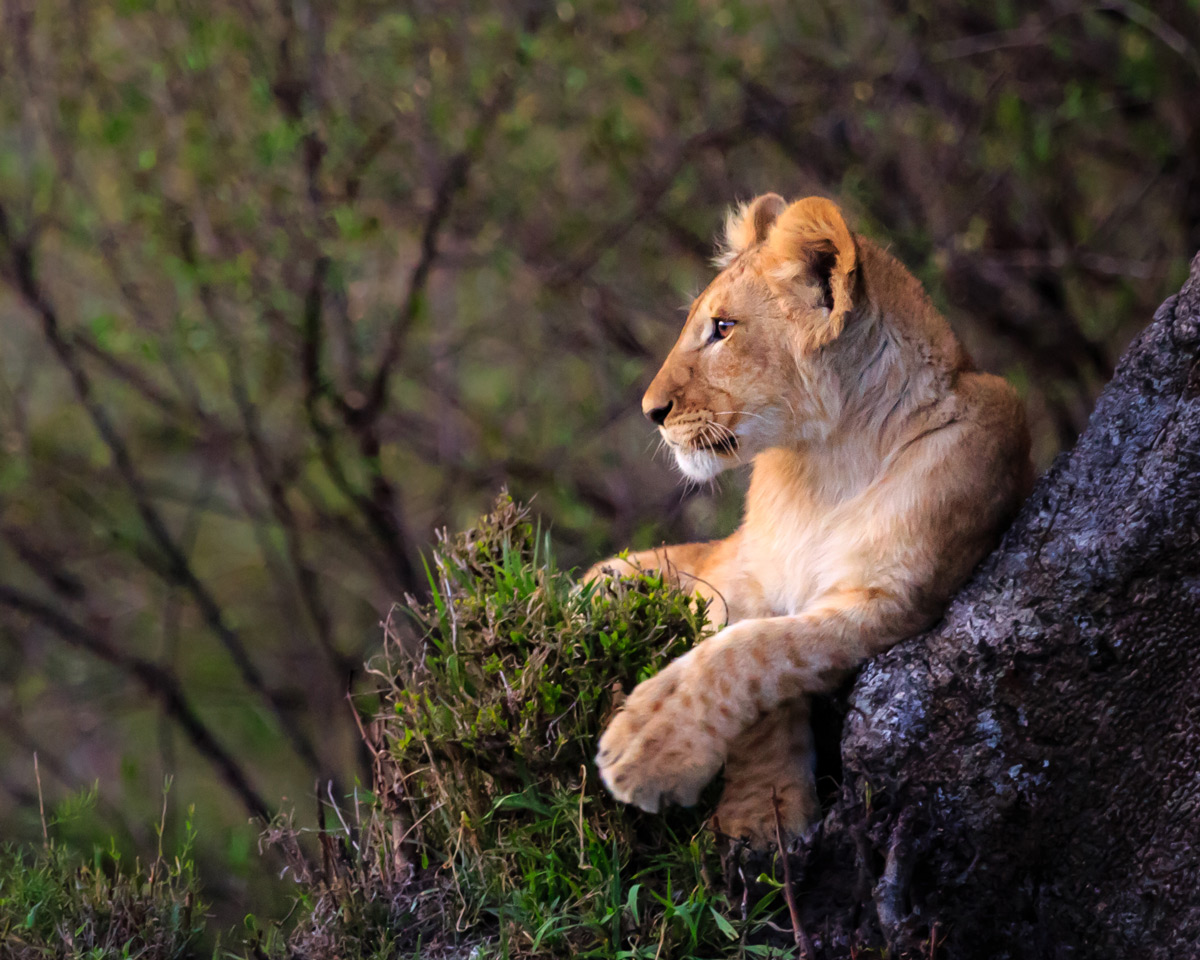 """A lion cub contemplating his future as a leader of his own pride"" – Serengeti National Park, Tanzania © Doreen Lawrence"